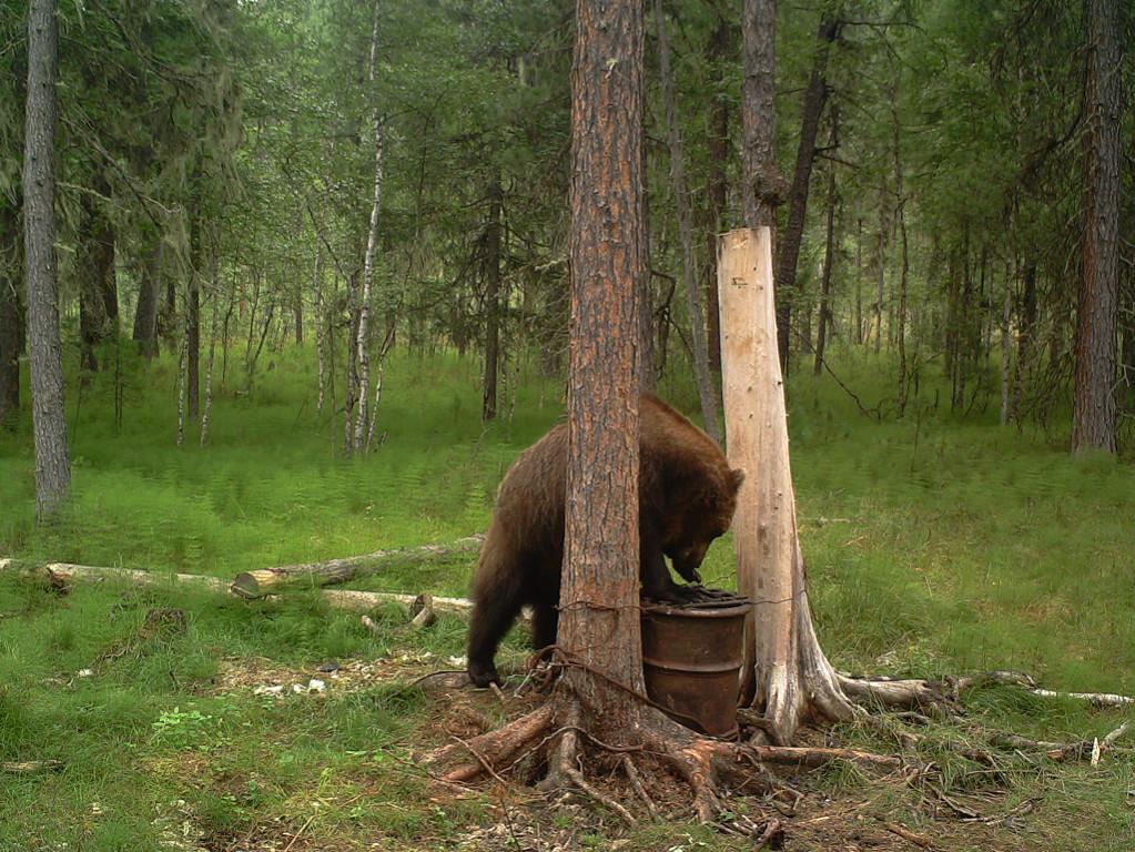 медведь на приваде охотничья база байкал