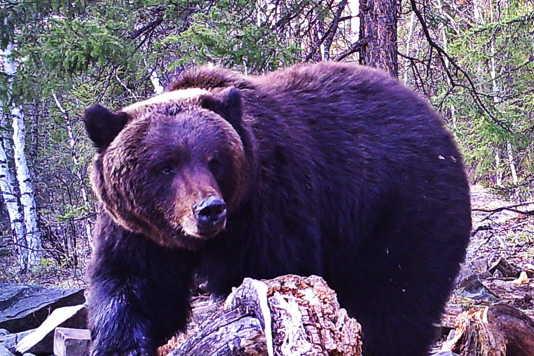охота медведя на приваде весной на байкале