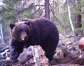 baikal bear photo tour